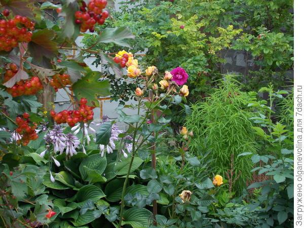 Дружно растут рядом много лет калина и рябина, роза морщинистая и роза парковая.