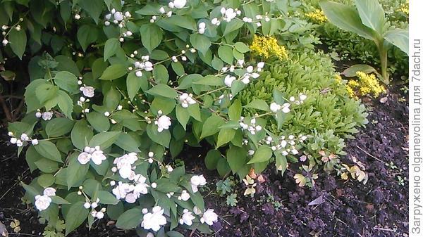 Чубушник долго привыкал к условиям нашего участка, но вот уже 5 леи цветет белоснежными шапками!