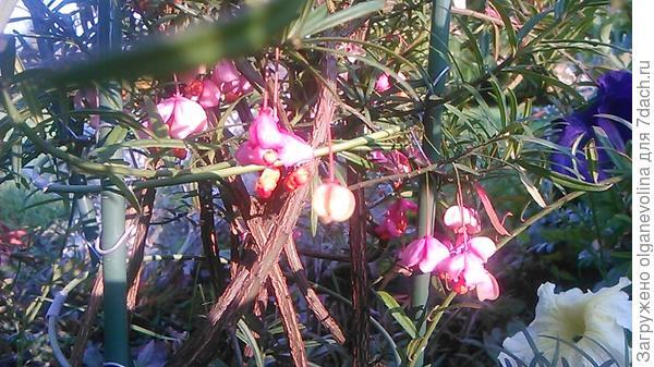Так вереск цветет.