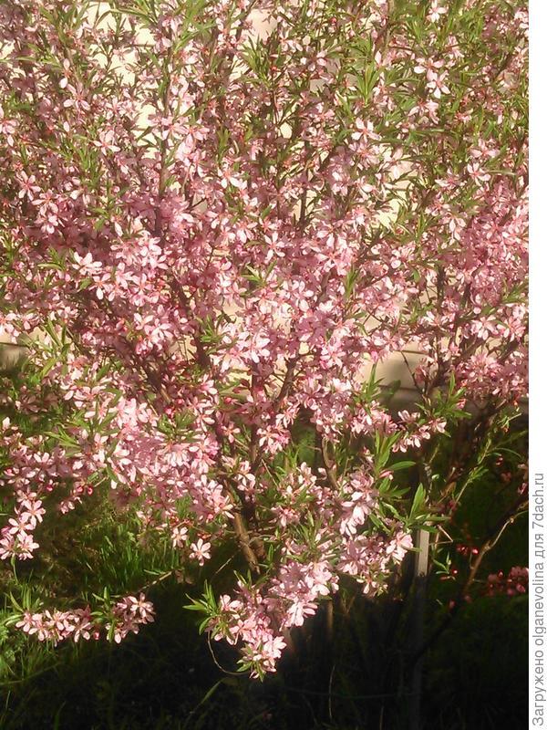 """Так цвете миндаль степной. Ему 4 года. Очень неприхотлив, иногда на него """"нападает"""" тля, особенно сразу после цветения."""