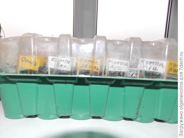 Сеянцы петуний в контейнере.
