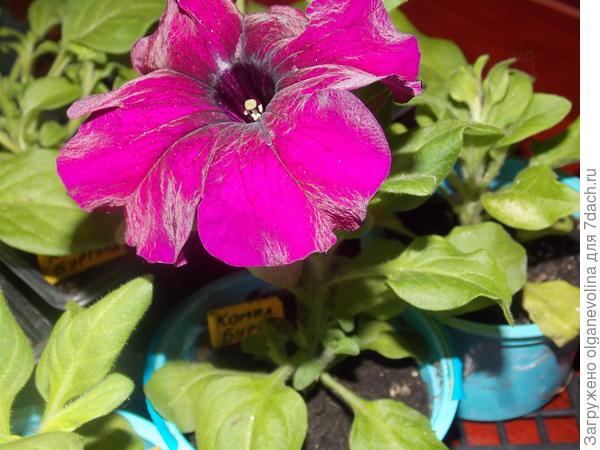 Цветок Бургунди.