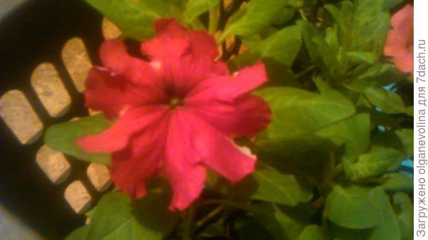 Первый цветок Комплиментунии Звездная ночь.