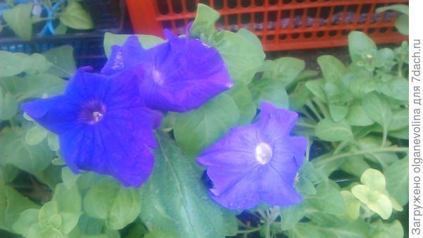 Первые цветы.Зацвели синие. Желтых пока нет.