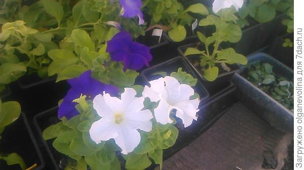 Первые цветы Комплиментунии Белой.