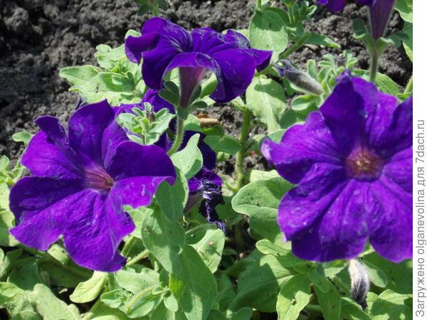 Вот такие синие огромные цветы!
