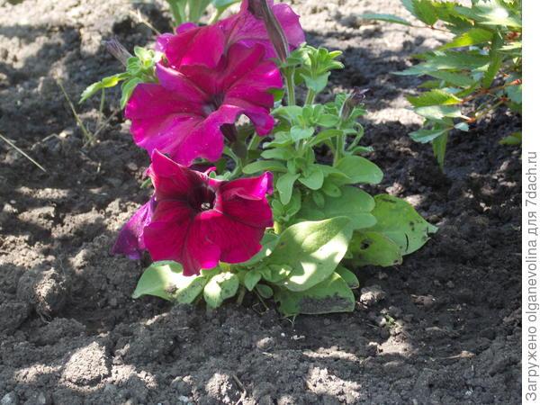 Первые цветы в грунте.