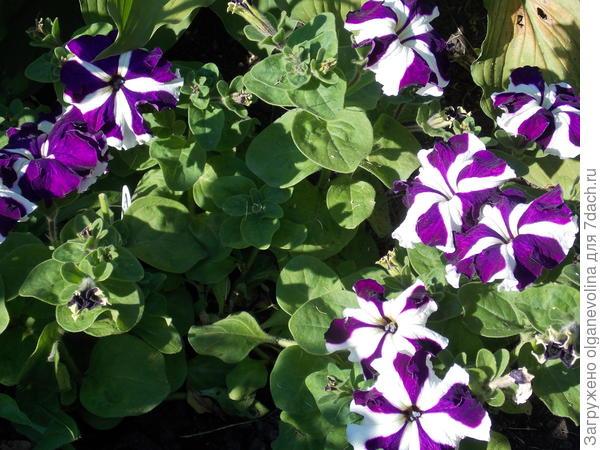 Фиолетовый полосатик с каждым днем все краше!