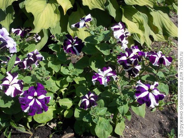 Фиолетовые не отстают от алых.