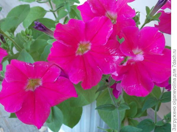 Марко Поло Розовая в конце июля. Пик цветения.
