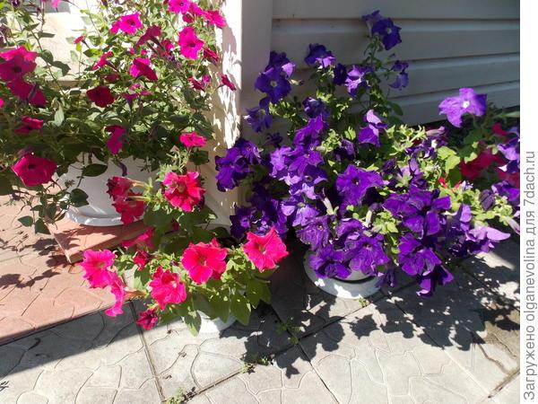 Марко Поло Розовая F1 и Звездная ночь F1 жарким июльским днем. Прячу растения от знойного солнца.
