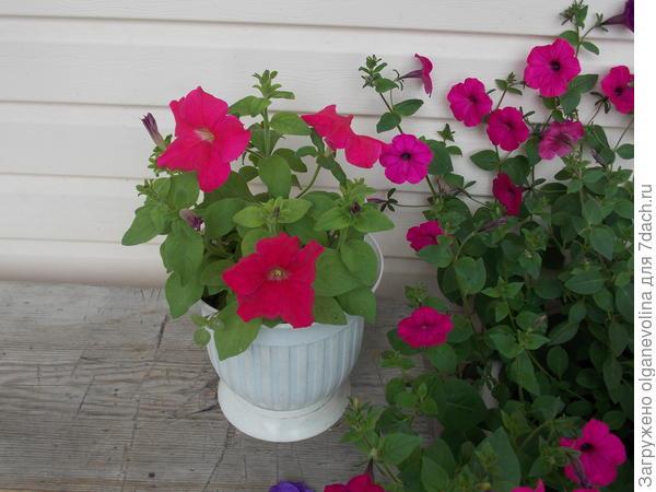 Цветение в середине июля.