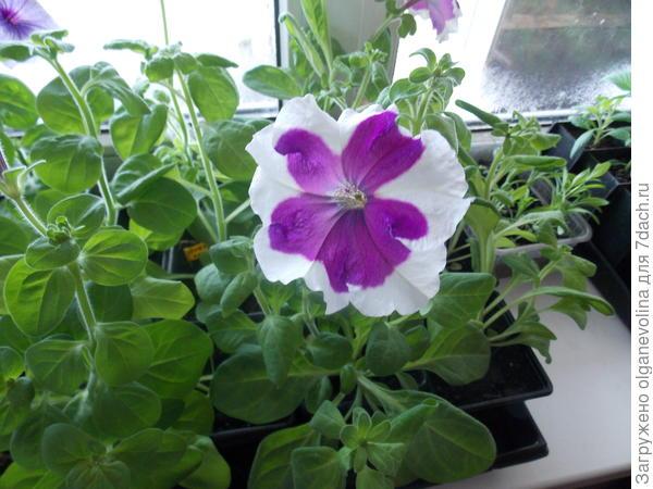 Первый цветок в конце апреля.