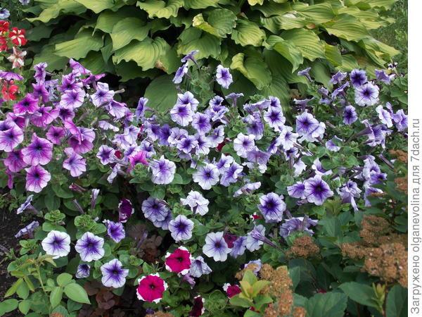 Начало августа. Пик цветения петуний. Елена Прекрасная во всей красе!