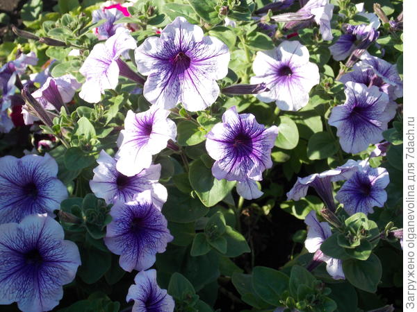 Пышное цветение в конце июля.