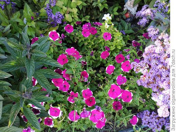 Петуния Ольга F1 в начале осени цветет также обильно как и летом.