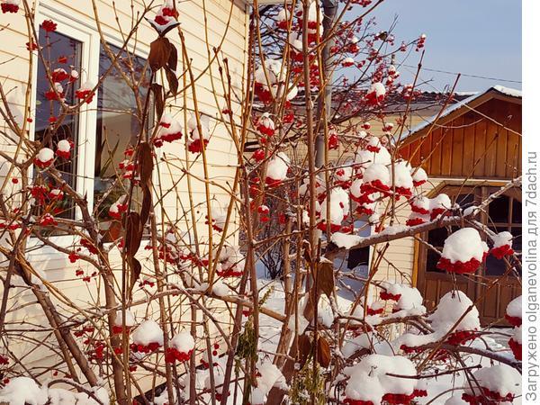 Зимняя ягода - калина красная.