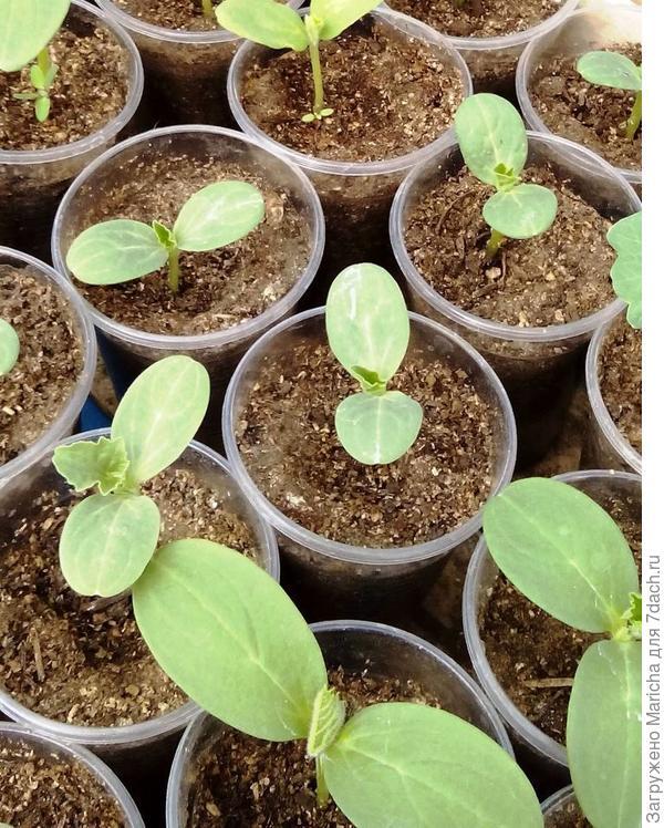 Огурцы  выращиваем через рассаду,  в стаканчиках. Высеваем их в два срока: 1 апреля и 1  мая. Всходы появляются через три дня.