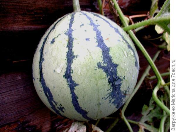 Второй плод