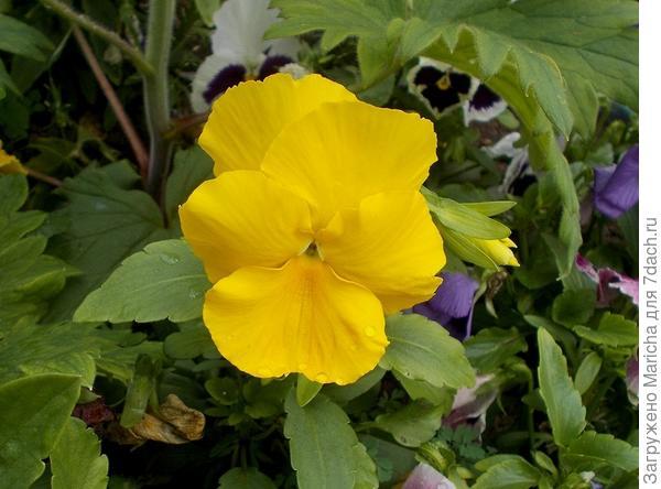 Желтые виолы
