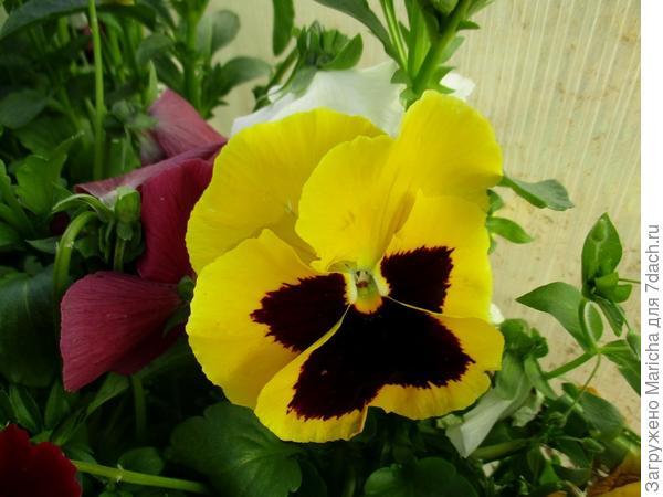 Двухцветные виолы