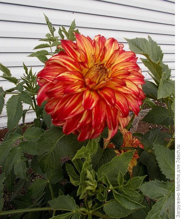 Сначала у цветка красноватый оттенок