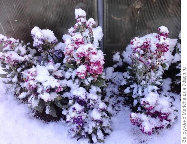 Левкои под снегом
