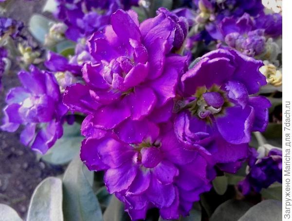 Фиолетовый левкой