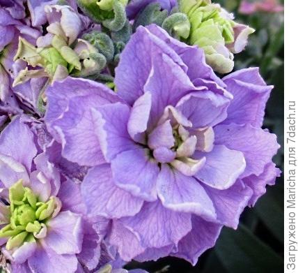 В цветке махрового левкоя очень много лепесточков