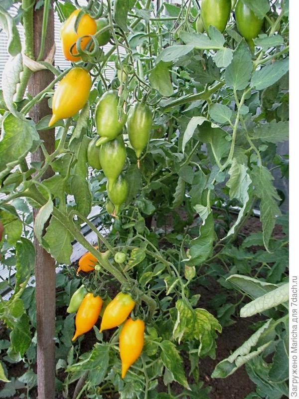 Куст томата Золотой лимон