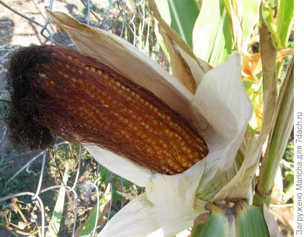 Кукуруза созрела
