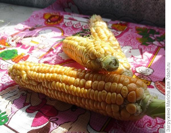 Кукуруза Золотой початок