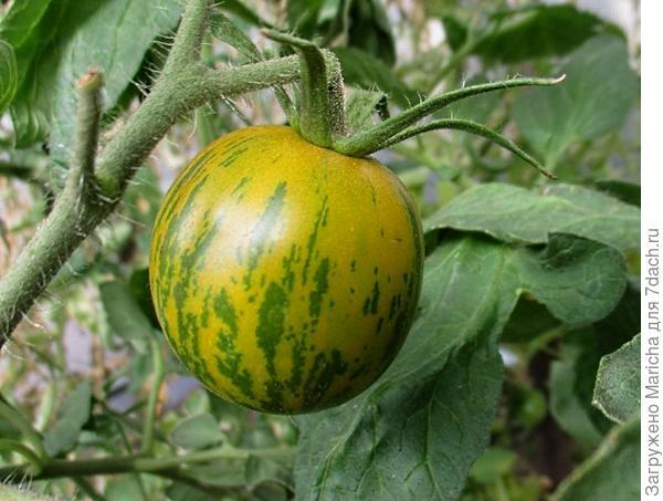 "Спелый плод ""Зеленой зебры"""