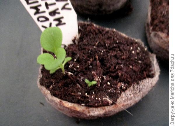 Нормально развивающееся и отстающее в развитии растения петунии