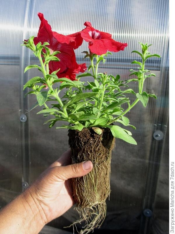 Одно из растений петунии Марко Поло красная F1