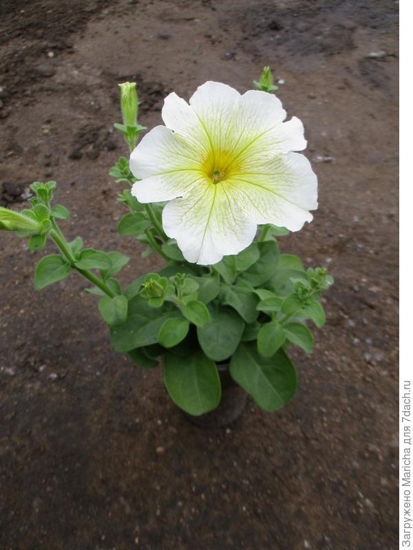 Самое маленькое растение
