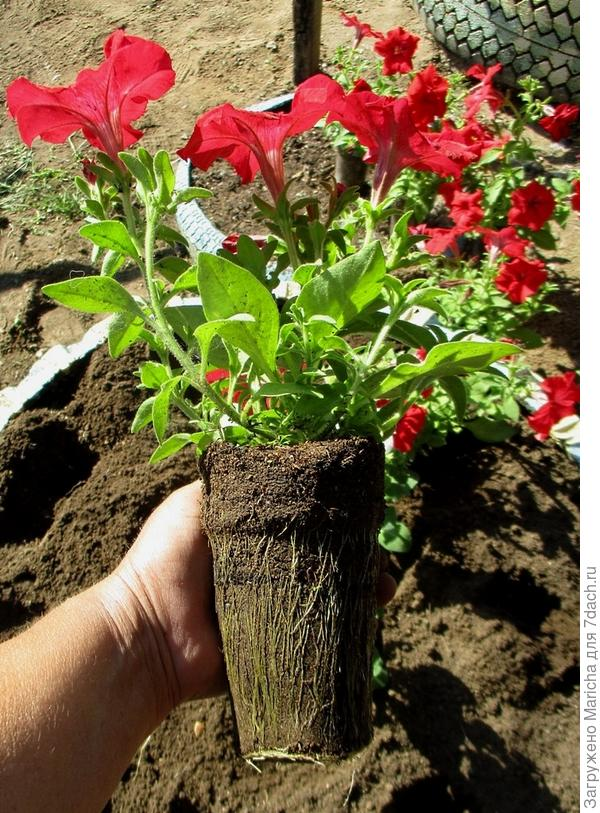 Одно из растений комплиментунии винно-красной F1
