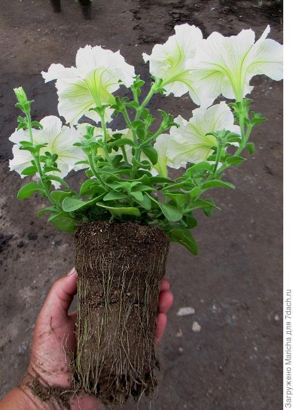 Одно из растений комплиментунии мятный лайм F1