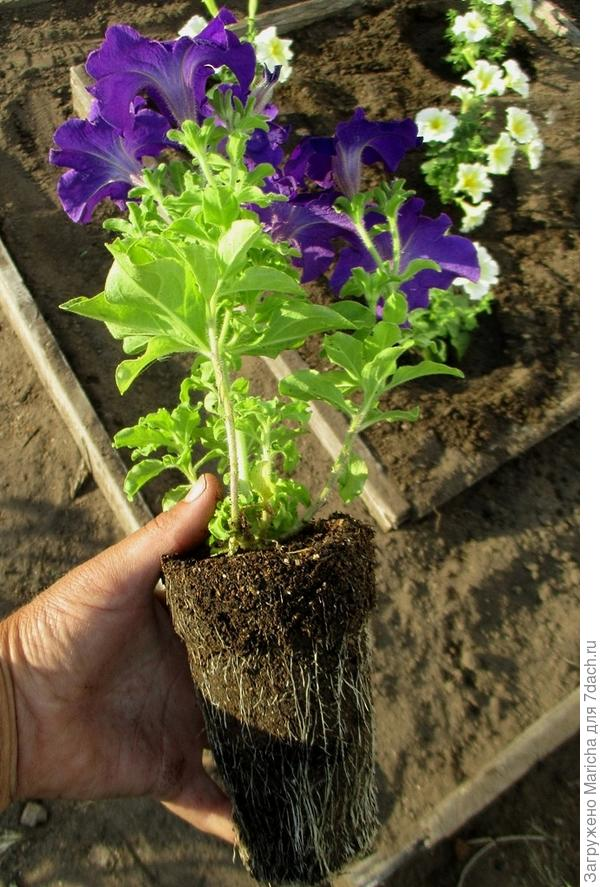 Одно из растений комплиментунии голубая F 1