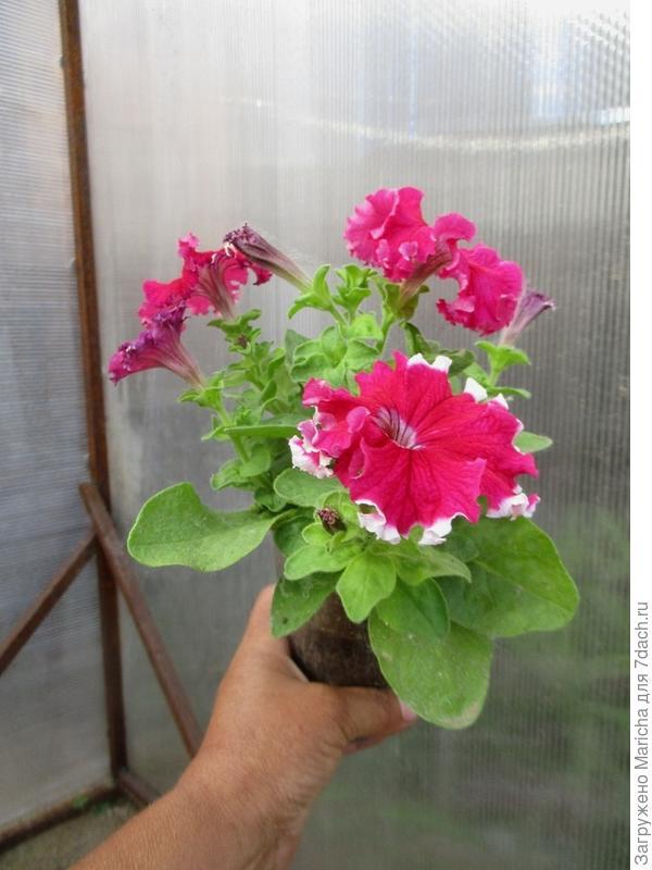 Одно из растений Мария F1