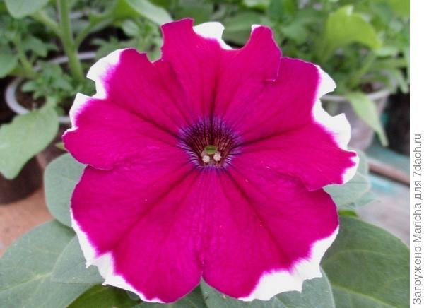Цветок петунии Ольга F1