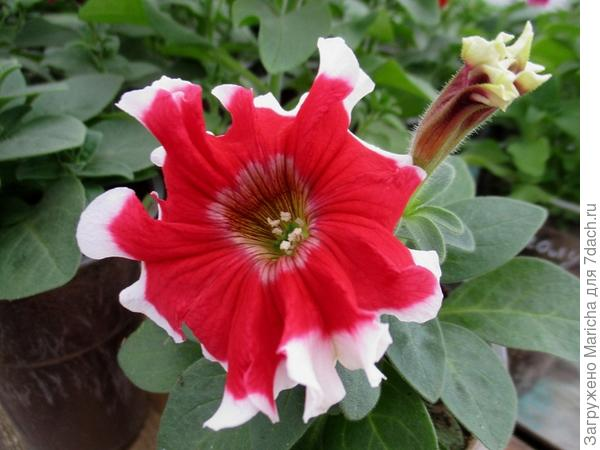 Светло-красный цветок