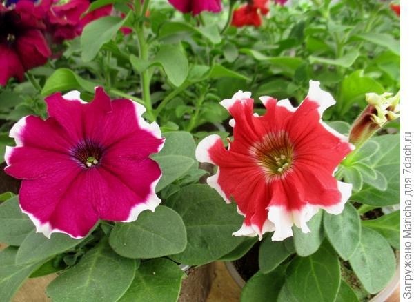 Разная окраска цветов