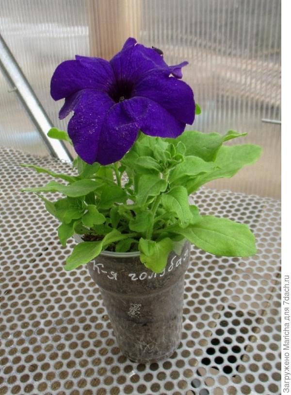Растение с первым цветком, побегами и бутонами.