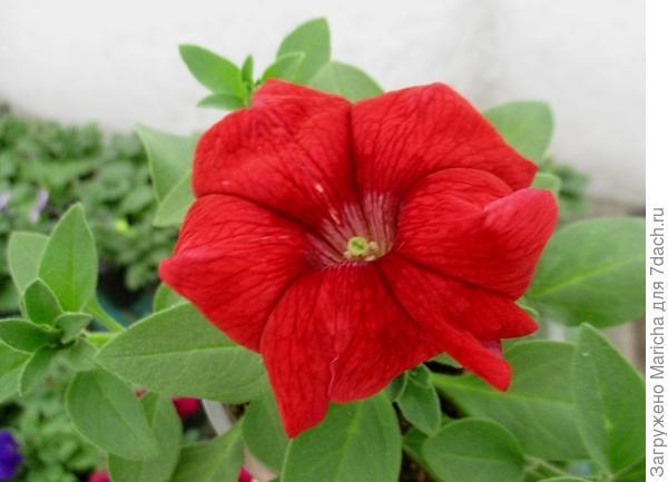 Цветок петунии Марко Поло красная F1