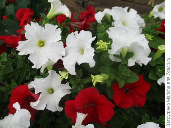 Комплиментуния винно-красная в миксе с белой петунией. 5 сентября