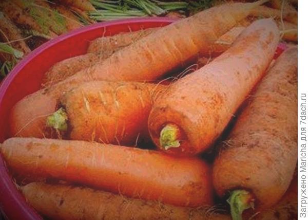 Морковь после уборки