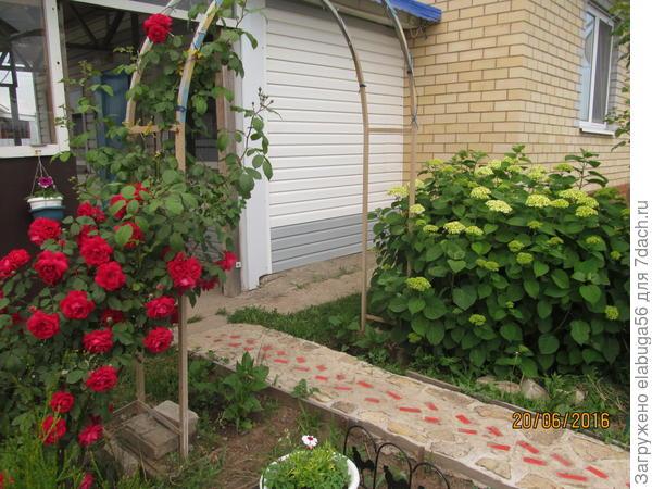 роза плетистая и гортензия древовидная