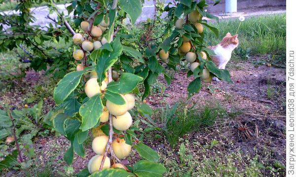 яблочки и слива