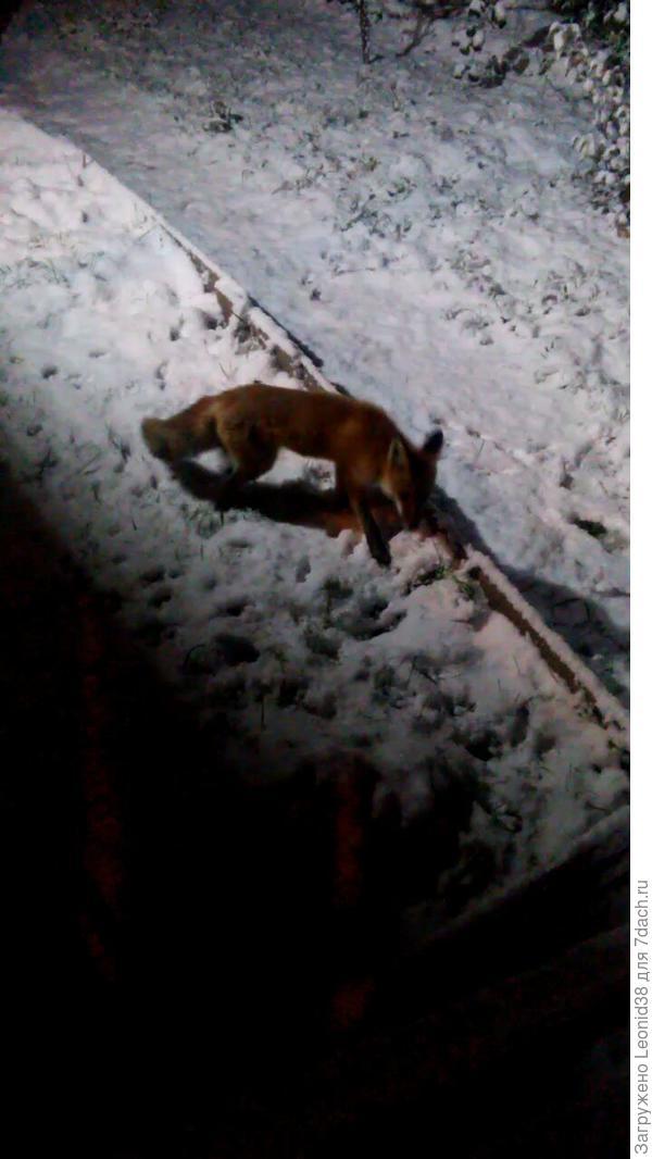 У младших детей, лиса стала в гости ходить.